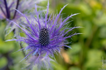 Blau-Grau-Distel, Bot. Garten Akureiry
